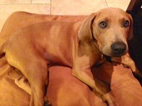 carhartt for your four-legged friend: the duck dog bed [review